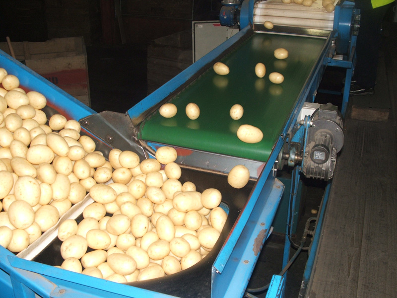 Potato packing and processing belts